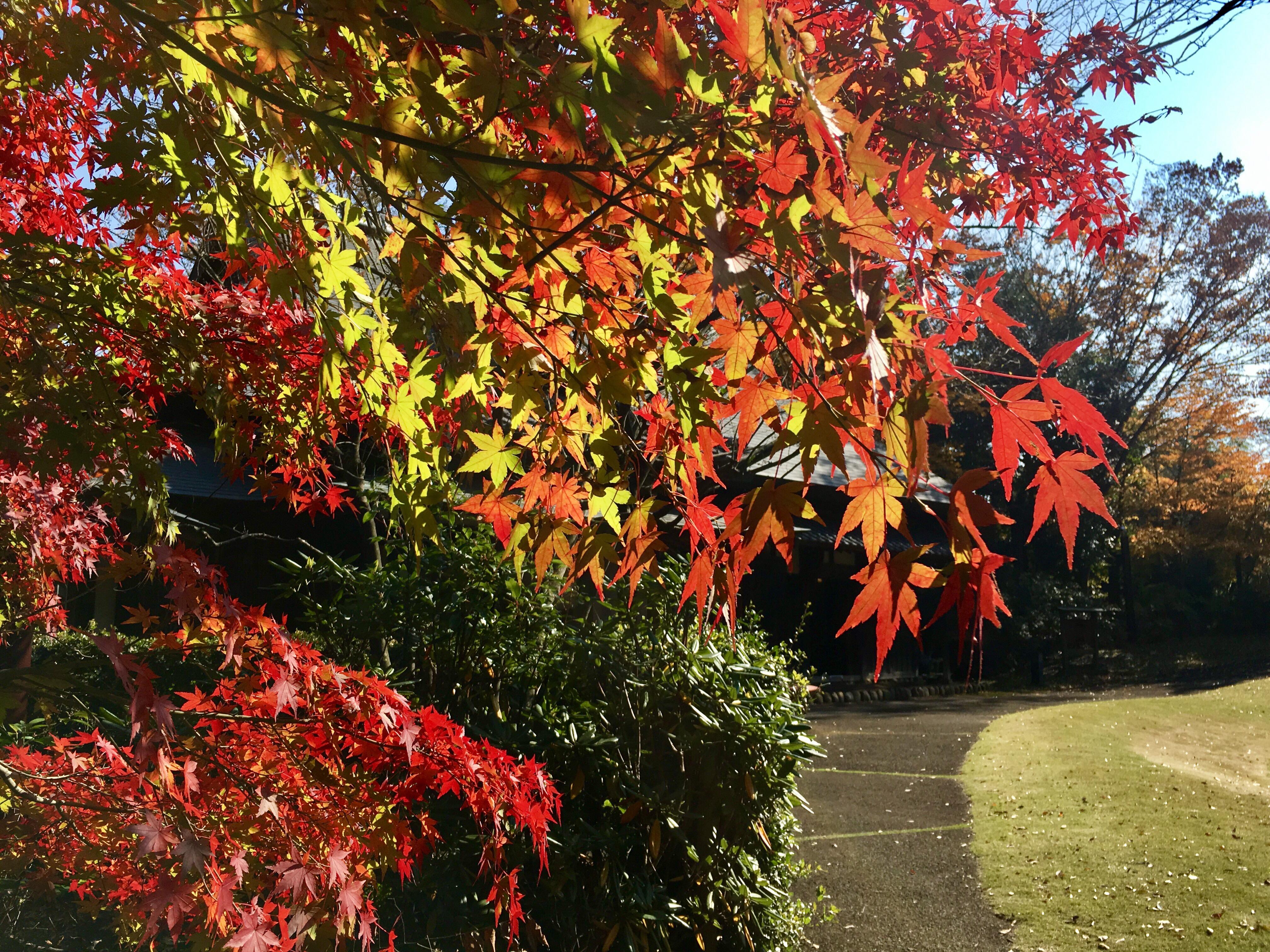 旧富澤家の回遊式日本庭園で紅葉が綺麗