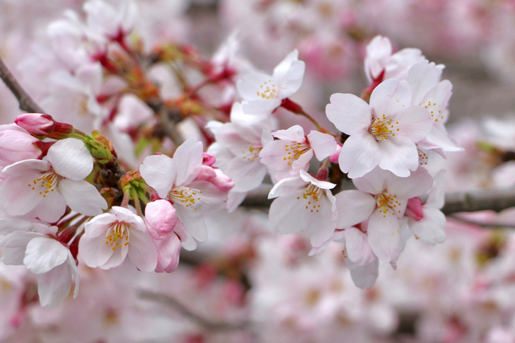 「桜 開花」の画像検索結果