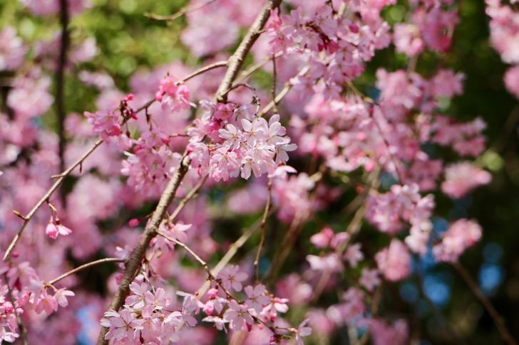 京王プラザホテル多摩前のしだれ桜