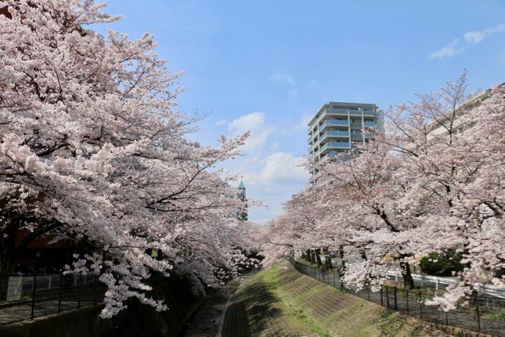 乞田川の桜