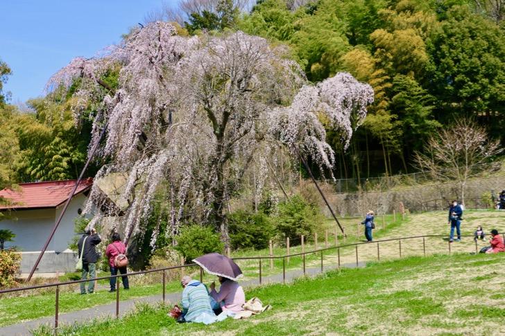 鶴牧西公園のしだれ桜