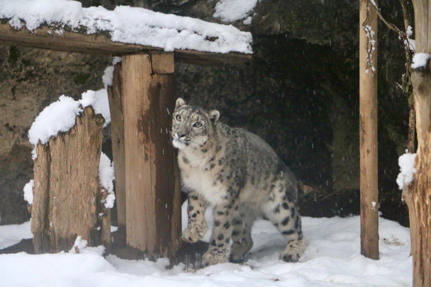 雪の多摩動物公園のユキヒョウ