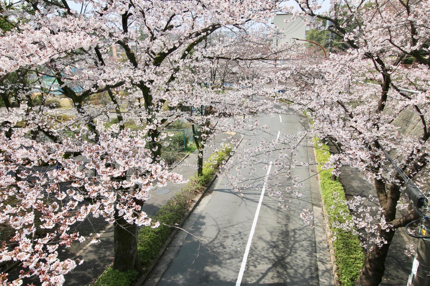 みどり橋からみた桜