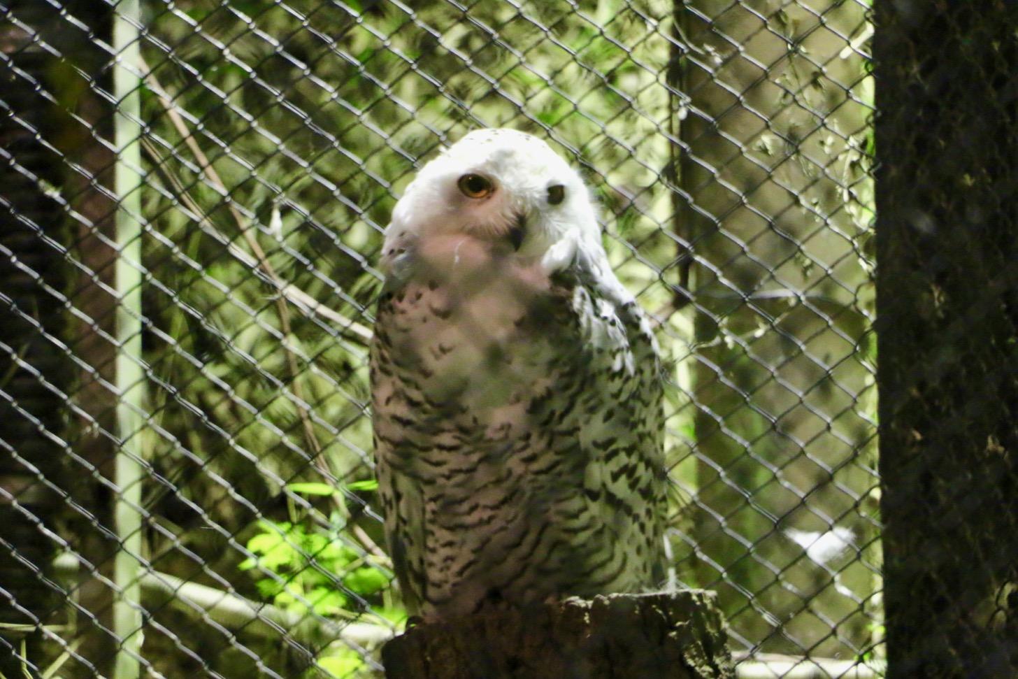 多摩動物公園 サマーナイトズー シロフクロウ