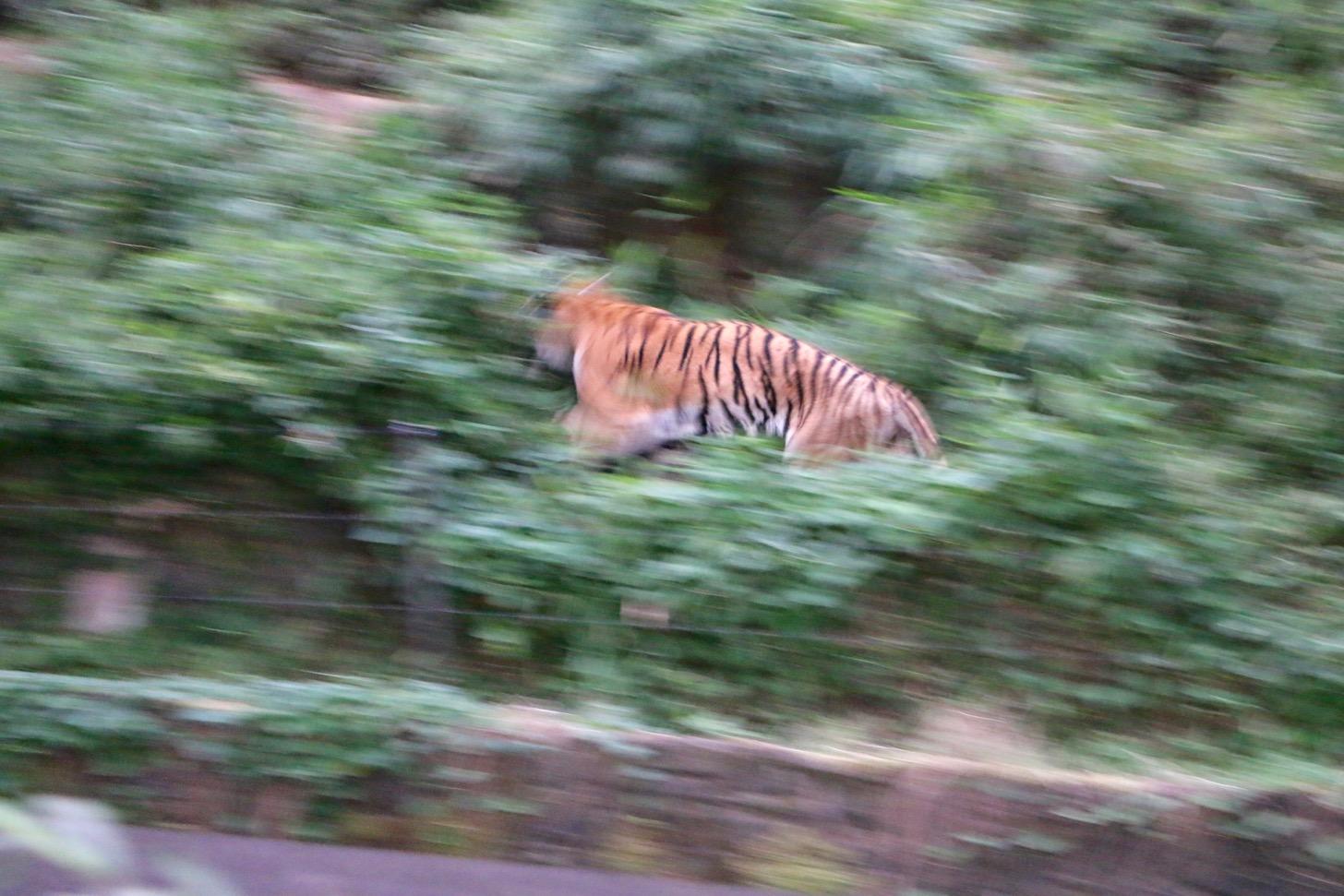 多摩動物公園 サマーナイトズー トラ
