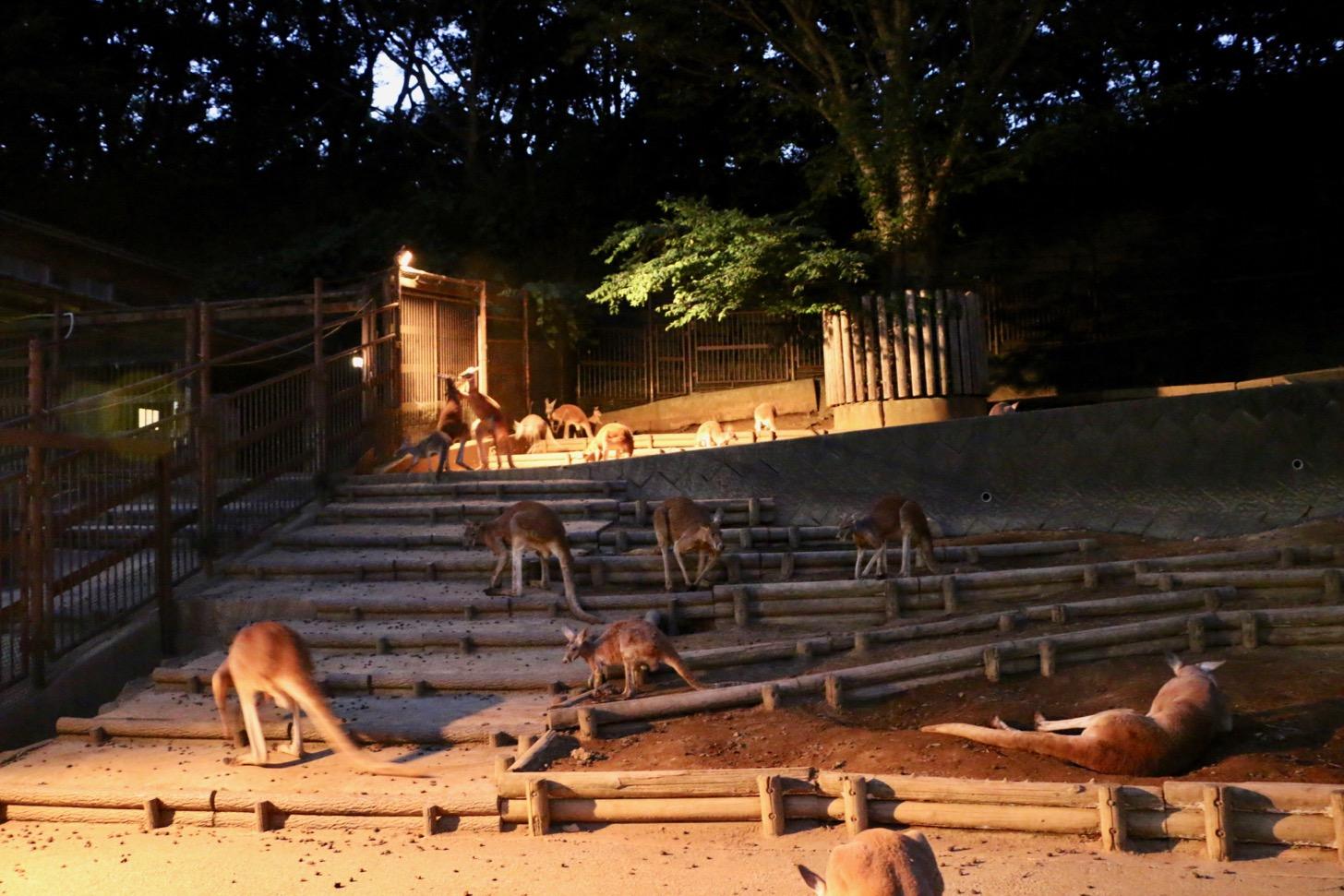 多摩動物公園 サマーナイトズー カンガルー