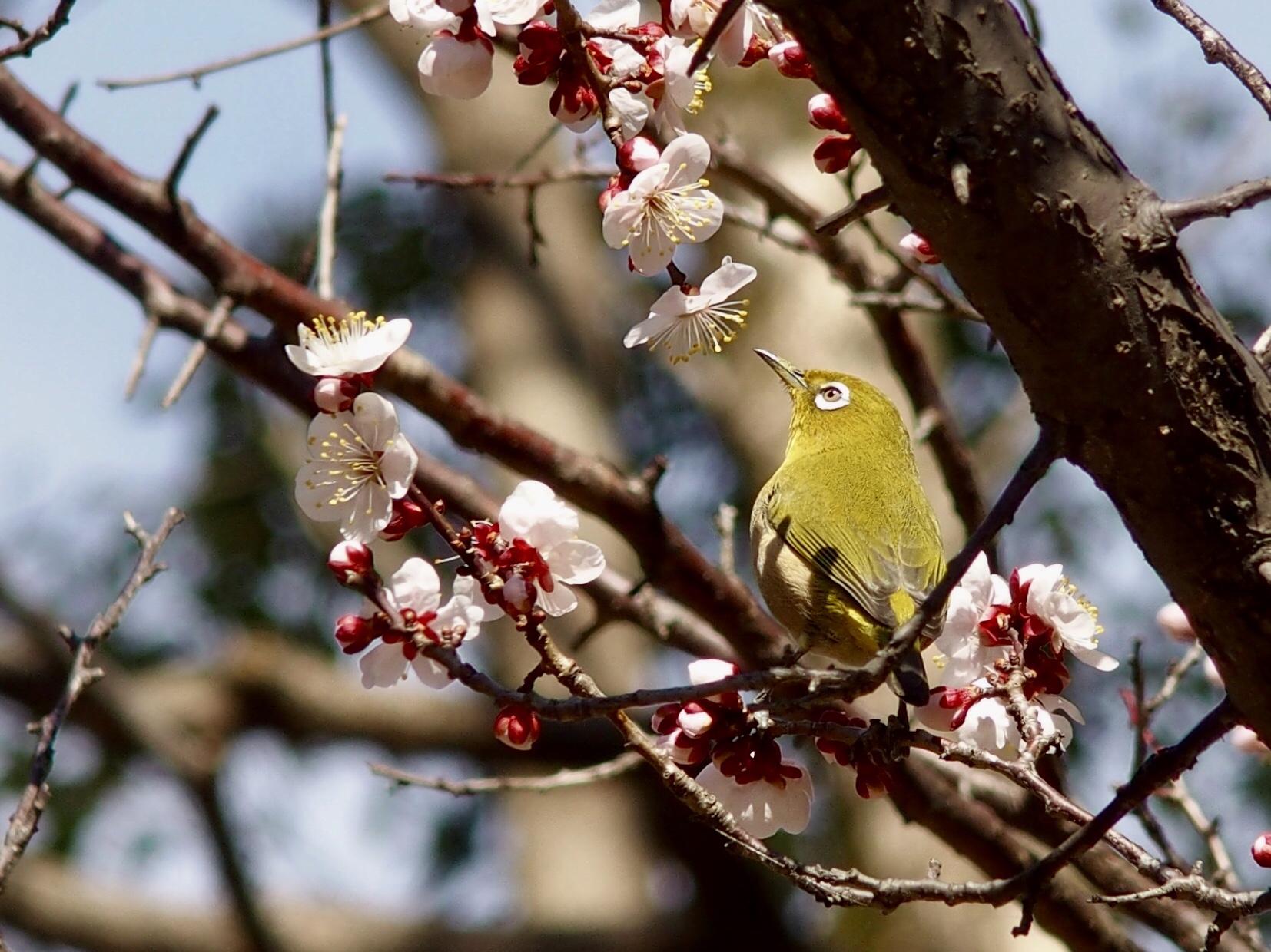 多摩中央公園の梅の木に止まるメジロ!