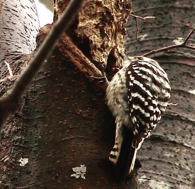 コンコン木の幹をつつくコゲラ