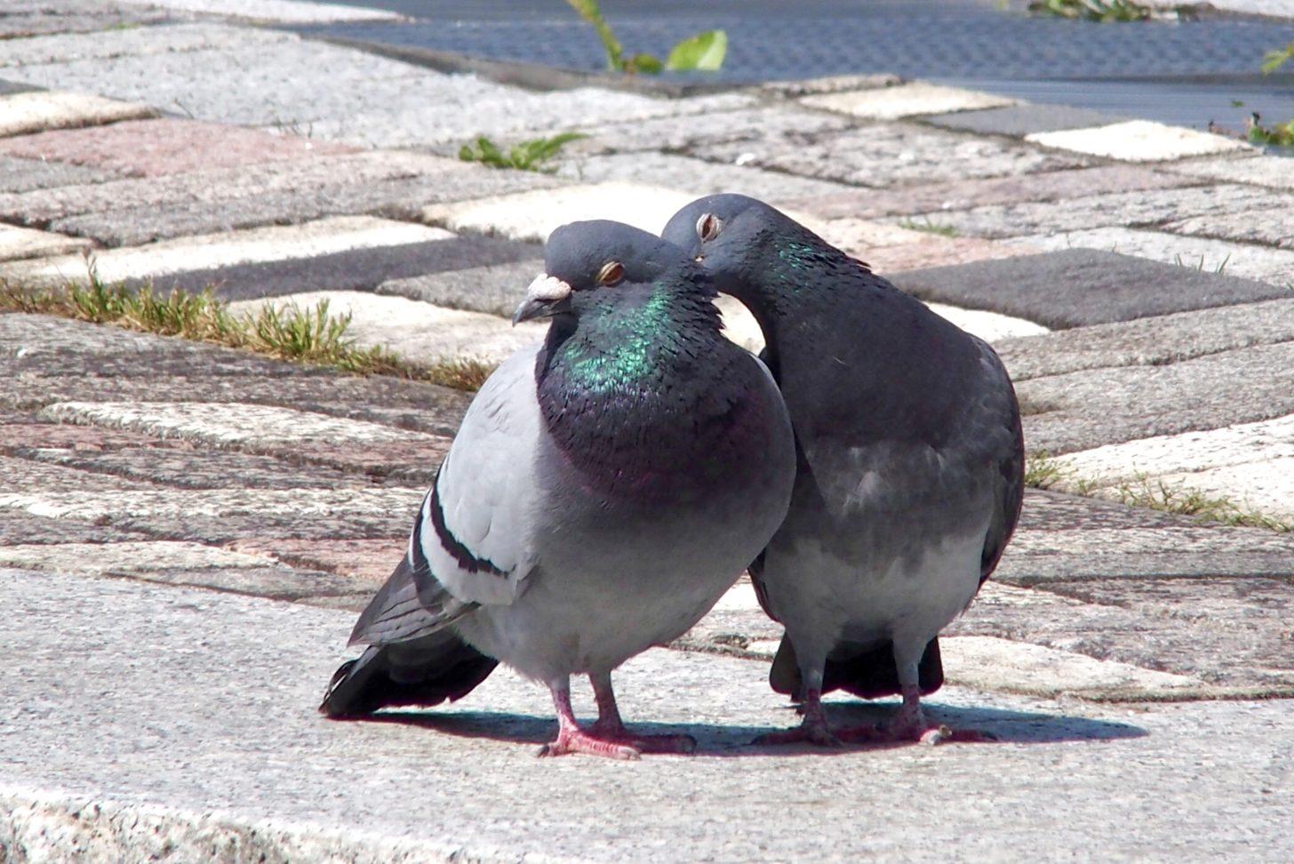 仲良し鳩さん