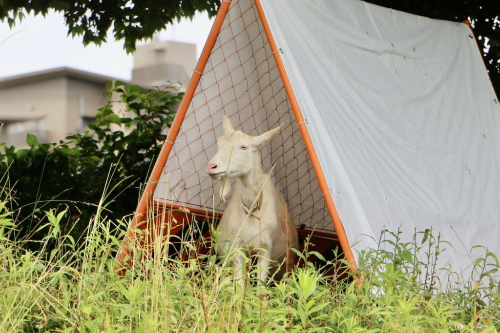 テントで休憩するヤギレンジャー