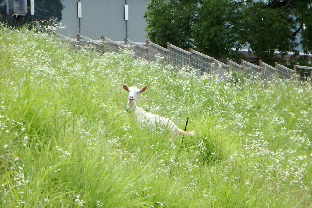 草むらからひょっこり顔を出すヤギレンジャー