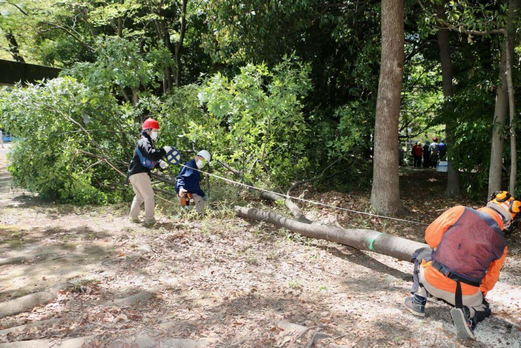 倒した木は約14mのシラカシ